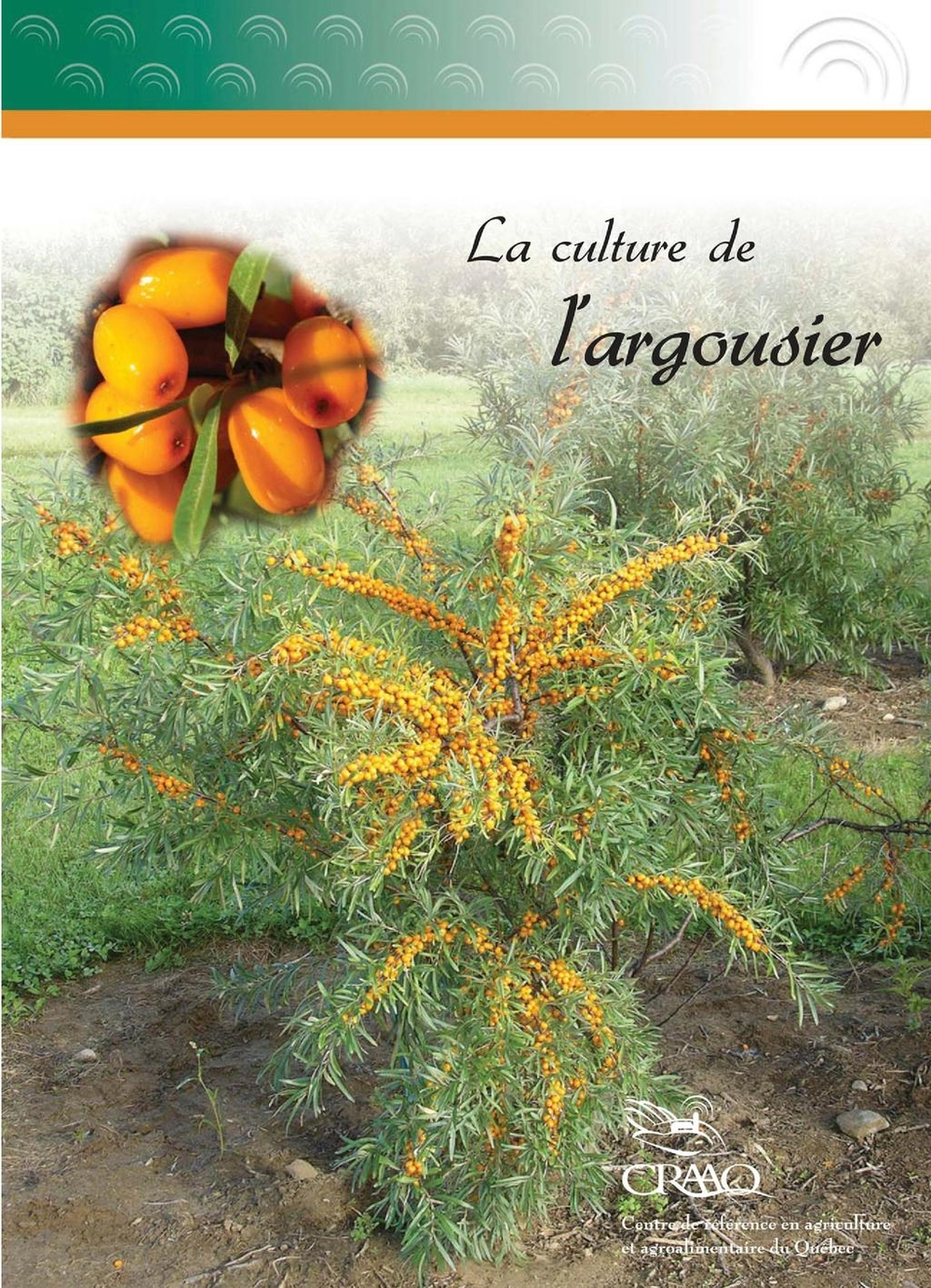 La culture de l'argousier